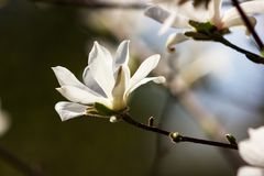 White flowers of magnolia kobus. At blurred sky background royalty free stock image
