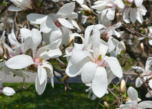 White flowers of a Magnolia stellata Stock Photography