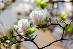 White flowers of magnolia tree blossom. Lovely springtime background on a bright day Stock Images