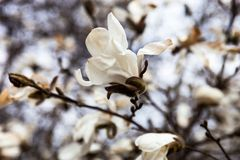 White flowers of the magnolia tree in early spring stock images