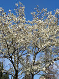 White flowers on magnolia trees. Magnolia trees spring blossom in city park Royalty Free Stock Photography
