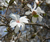 White flowers of a magnolia Stock Photos