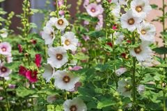 White flowers of mallow stock photo