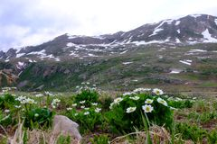 White flowers Marsh Marigold and snow capped mountains. Royalty Free Stock Photography