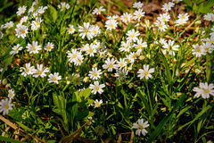 White flowers meadow chickweed Stock Photos