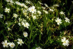 White flowers meadow chickweed Stock Photo