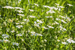 White flowers meadow chickweed Royalty Free Stock Images