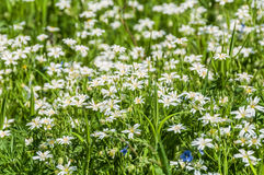 White flowers meadow chickweed Royalty Free Stock Photo