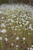 White flowers meadow. Stock Photo