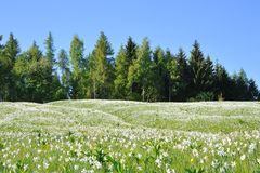 White flowers in the meadow of mountain - narcissu Royalty Free Stock Image