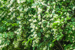 White flowers of Mock orange shrub stock photography