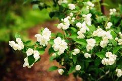 White flowers of Mock orange shrub Philadelphus. Blooming in summer garden Stock Photos