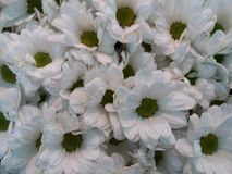 White flowers. In the morning Stock Image
