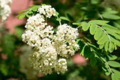 The white flowers of mountain ash on a background of green leaves in the spring on a clear Sunny day stock photo