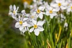 White flowers Narcisus poeticus in the garden Royalty Free Stock Image