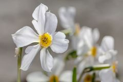 White flowers Narcisus poeticus on the gray background Royalty Free Stock Photography
