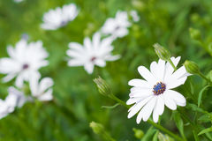 White flowers nature background Stock Image