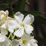 White flowers of Nerium Oleander on shrub, macro, selective focus, shallow DOF Royalty Free Stock Photos