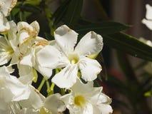 White flowers of Nerium Oleander on shrub, macro, selective focus, shallow DOF Royalty Free Stock Image