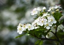 White Flowers Of Hawthorn Stock Image