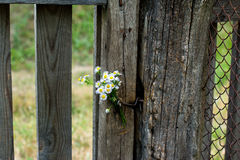 White flowers and an old fence Stock Photos