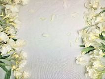 White flowers, oleander stock image