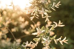 Free White Flowers On The Tree In A Beautiful Soft Sunset Light. Stock Photo - 178100890