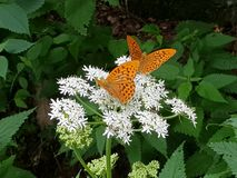 White Flowers and orange butterflies in the mountain royalty free stock images