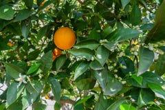 White flowers and oranges. In orange tree stock photos