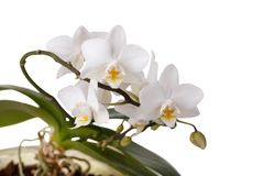 White flowers orchid Phalaenopsis royalty free stock photo
