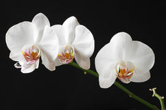 White flowers orchids Royalty Free Stock Photo