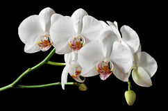 White flowers orchids Royalty Free Stock Image