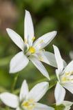White flowers of ornithogalum Stock Photo