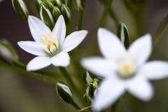 White flowers of Ornithogalum umbellatum Stock Photography