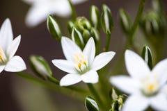 White flowers of Ornithogalum umbellatum Royalty Free Stock Image