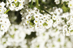 White flowers over blurred background. Close-up of white flowers over blurred background Royalty Free Stock Photos