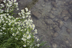 White flowers over water. White flowers on the river with a stone bottom Royalty Free Stock Photo