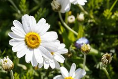 White flowers of ox-eye daisy. In a garden during spring stock image