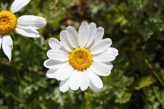 White flowers of ox-eye daisy. In a garden during spring royalty free stock photo
