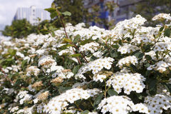 White flowers in the park at city Royalty Free Stock Images