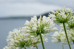 White flowers on a pathway at the side of the sea in Cornwall. At summertime in the daytime, UK Royalty Free Stock Photography
