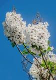 White flowers of paulownia tomentosa Stock Image