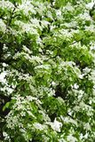 White flowers. royalty free stock photos