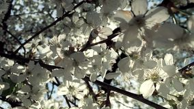 White flowers of pear tree blossom natural background in broad daylight with sun highlight though branches stock footage