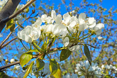 White flowers pear Royalty Free Stock Photos