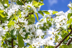 White flowers pears on the branches Royalty Free Stock Photography