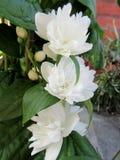 White flowers of philadelphus Stock Photos