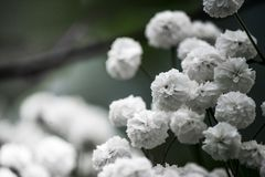 White flowers are photographed close-up for decoration Stock Photos