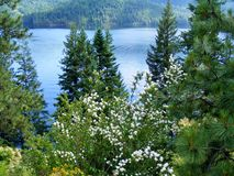 WHITE FLOWERS AND PINES IN FRONT OF LAKE Royalty Free Stock Image