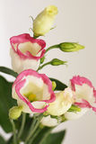 White flowers with a pink border Royalty Free Stock Images